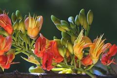 Castanospermum australe (andreas lambrianides) Tags: bean blackbean fabaceae moretonbay australianflora castanospermumaustrale moretonbaychestnut australiannativeplants arfp australianrainforests australianrainforestplants qrfp australianrainforestflowers arfflowers redarfflowers yellowarfflowers moretonbaybean