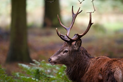 (- Alex Witt -) Tags: park uk autumn wild england london animal season wonder nikon october stag colours britain wildlife south great royal richmond surrey east deer event british greater annual 500mm rut spectacle rutting londonist 2013 d700
