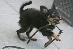 3 Fierce and hot (Sanunas) Tags: dog chien pet nature animal cane perro hund mansbestfriend coth citydogs russiantoyterrier blinkagain