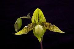 Paph. Harold Koopowitz 'Takatsuka No.2' (vanda2) Tags: orchid fukuoka society