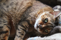 IMG_5545 (sixthland) Tags: cat flare bengal rani 550d