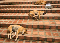 Let sleeping dogs lie, relaxing on the steps at Doi Suthep Temple,  Chiang Mai, Thailand (jitenshaman) Tags: travel dog pet pets dogs animal relax asian thailand furry funny asia comic nap sleep homeless humor steps thai destination rest chiangmai trio oriental orient doisuthep beg sleepingdogs watdoisuthep worldlocations