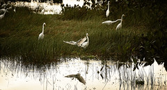 Garzas - 1 (Uriel Akira) Tags: trees sun sol water grass birds reflections mexico agua arboles flight aves pantano pasto pajaros swamp tabasco herons reflejos vuelo garzas macuspana