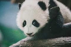 IMG_3684 (SwiftTheFox) Tags: atlanta baby animal animals canon georgia zoo cub panda ii 5d giantpanda mk zooatlanta pandas pandabear 135mm babypanda babypandas 135mmf2l canonef135mmf2lusm 135mmf2 canon5dmkii 5dmarkii 5dmkii 5dmk2 canon5dmarkii