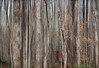 Curtain of Trees (Terry Pellmar) Tags: autumn trees texture forest woods digitalart digitalpainting mygearandme mygearandmepremium
