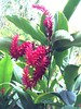 Huge ginger lily flowers (rmtw) Tags: gingerlily andromedagardens