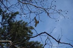 20140202-IMG_8472 (nycbone) Tags: trees winter building brooklyn garden japanesegarden pond nest bbg botanicalgardens birdofprey redtailedhawk redtailhawk sundaystroll