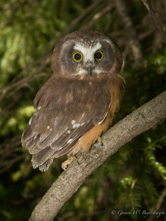 Northern Saw-whet Owl  - Owlet