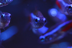 Neon (The steelyglint) Tags: blue red fish macro water nikon explore 40mm aquaruim nikond3200 neontetra explored