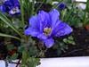 Spring in Blackheath Royal Standard (Julie70 Joyoflife) Tags: flowers london spring fevrier photostroll photojuliekertesz midfebruary springwalksinlondon springflowersinfebruary