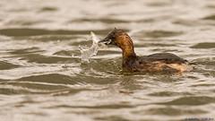 tuffetto a pesca (taronik) Tags: natura uccelli acqua animali pesce preda cacciafotografica tuffetto blinkagain bestofblinkwinners