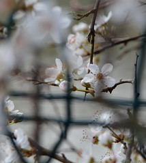 Enchevtre dans le grillage ... (anne arnould) Tags: white france flower nature fence countryside spring nikon blossom country nikond7100