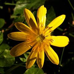 Lesser celandine [Ranunculus ficaria] (SS) Tags: light italy flower yellow garden square pentax crop greens lazio k5 ss