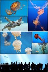 Monterey Aquarium Montage (OC Photographie) Tags: california usa west cali america aquarium coast shark us monterey jellyfish photographie turtle united roadtrip cte carmel jelly states oc tortue unis californie mduse amrique etats ouest