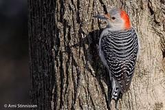 Red-bellied Woodpecker - female (Arni Stinnissen) Tags: niagarafalls redbelliedwoodpecker dufferinislands