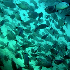 sea breams. (sitki yurekli) Tags: backlight underwater breams shallowwaters seabreams