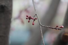 Pink And Raindrops (chali_photojones) Tags: trees urban nature rain blossoms raindrops sakura cherryblossoms plumblossoms