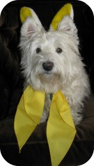 """4/12A~ """"My Special Easter Bunny"""" (ellenc995) Tags: friends bunny yellow easter riley westie ears westhighlandwhiteterrier coth supershot akob citrit pet500 pet100 rubyphotographer 100commentgroup challengeclub coth5 ruby10 ruby5 thesunshinegroup sunrays5 challengeclubchampion 12monthsfordogs14"""