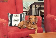 Si Django, es lunes... (Pablin79) Tags: dog pet house animal digital canon eos reflex flash newyear dachshund couch 5d dackel django teckel markii canoneos5dmarkii 5dmkii pabloreinschphotography
