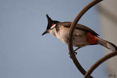 Bulbul Orphée - Pycnonotus jocosus - นกกรงหัวจุก.
