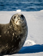 IBI_6598.jpg (Ashley.Cordingley1) Tags: sea storm elephant cold ice birds giant fur penguin extreme leopard seal british remote whales orca petrol wilderness humpback survey albatross antarctic peninsular weddell crabeater wilsons