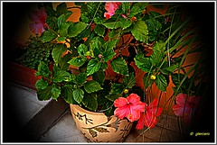 Hibiscus en plena floracin...P1110714EP (gtercero) Tags: hibiscus oltusfotos gtercero 20140427