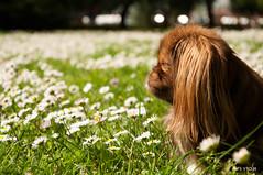 Spring Walking with the Pekingese (MIYOR shots) Tags: camp dog pet grass sunshine royal smalldog tilly toydog barabili