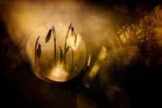 Gold snowdrop