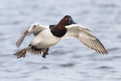 Gliding in (greg obierek) Tags: bird canon duck md wildlife maryland drake waterfowl avian canvasback cambridgemd divingduck aythyavalisineria choptankriver ef500mmf4isl eos7dmkii