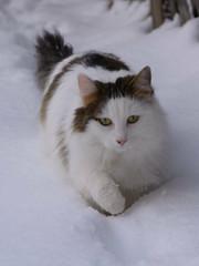 A cat in the snow (bertrandwaridel) Tags: winter cats snow switzerland suisse february vaud woodie 2015 echallens