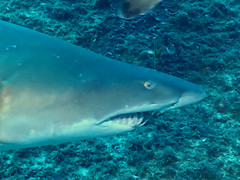 Grey Nurse Shark (allenhaggerty00) Tags: southwestrocks greynurseshark
