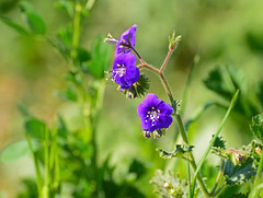 Wild Flowers (simpsongls) Tags: wild plant flower green garden purple outdoor trail newport fields backbay