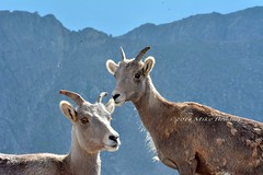Big Horn Sheep (keitokelsea) Tags: colorado mtevans bighornsheep mountainsheep rockymountainbighornsheep oviscanadensis