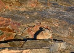Cute, at sunset (supersky77) Tags: california rodent sierra sierranevada jmt highsierra pika anseladamswilderness johnmuirtrail ochotonaprinceps roditore