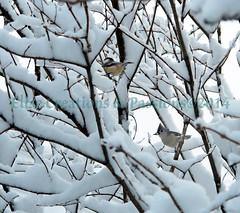 Winter Birds 5 (Elise Creations & Passions) Tags: fauna canon chickadee titmouse whitesnow winterbirds birdseating burlingtonvermont snowybranches graybird brownbranches graybranches birdsperching winter2014 vermontnaturephotography elisecreationspassionsphotography elisemarksphotography vermontwildlifephotography chickadeeandtitmouseonasnowylilacbush sunflowerseedinthetitmousesbeak