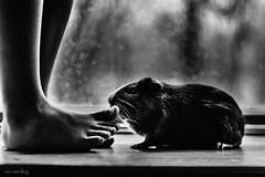 Rosenberg-Ana_ (Ana~Rosenberg) Tags: pet lensbaby guineapig toes explore feets piggies familypet mrozzy composerpro edge80