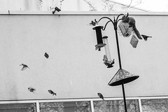 Squirrel & Birds (VonLiviu) Tags: park blackandwhite bw chicago bird squirrel feeding attack surprise lincoln