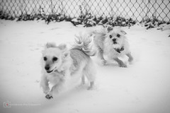 I'm gonna get you! (BrettAnderson_) Tags: winter portrait bw white snow black dogs nature minnesota canon pups puppies angle legs mark tail wide minneapolis running run terrier ii bark chase 5d cavalier 28 paws tamron mn chasing 2470
