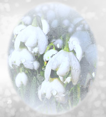 Snowdrops and Raindrops (virtually_supine) Tags: flowers creative textures raindrops snowdrops digitalmanipulation tistheseason whiteflowers winterflowers photographicmanipulation theawardtree magicunicornverybest sliderssunday photoshopelements13mac pse13mac tmifebruary2015contestshadesofwhite