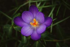 6/52 | Happy (Tammy Schild) Tags: flower macro nature grass closeup garden petals spring dof crocus bloom purpleflower m4h project52 canon100mmf28lmacro