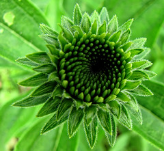 It ain't easy being Green (Ransomed63) Tags: echinacea coneflower