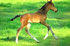 """ Foal Dreilnderwald "" (Kalbonsai) Tags: horses speed germany nikon running pferde longlegs paarden foal veule 55300mm d5100 naturphotography naturshot"