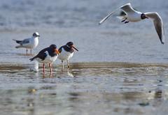 """Maniac..."" (paulinuk99999 - just no time :() Tags: orange bill time harbour seagull low oystercatcher peugeot poole drivers paulinuk99999 sal70400g"