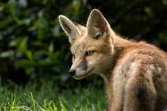 Red fox kit profile. (rishaisomphotography) Tags: wild portrait sun cute green nature spring furry fuzzy wildlife fox growing animalplanet carnivore redfox catchlights wildlifephotography naturephotographer foxkit babyfox