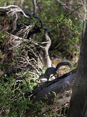 2016-04-24 17.09.42-4.jpg (Michael Bateman) Tags: wildlife squirel