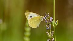 Butterfly (Pieris rapae) (uwe.werling) Tags: city travel macro green nature animal yellow butterfly nikon dof bokeh pov natur nikkor makro kleiner uwe schmetterling pieris rapae 70300vr d700 kohlweisling werling