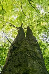 Geteilt - parted (ralfkai41) Tags: parted treetop pflanzen baum tree plants treetrunk geteilt leafs stamm outdoor bltter nature natur baumkrone