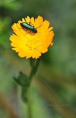 A noi piace il giallo - We like the yellow (Jambo Jambo) Tags: italy flower macro primavera bug spring italia tuscany toscana fiore grosseto insetto maremma castiglionedellapescaia nikond5000 riservanaturalediacciabotrona jambojambo pontidibadia