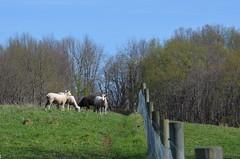 ~HFF~ (Sheeps and Peeps Farm) Tags: fence fenceline hff happyfencefriday bredewes newpaddock