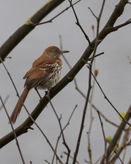 Brown Thrasher (J.B. Churchill) Tags: birds us unitedstates maryland places allegany flintstone taxonomy brth mimids rockygapsp